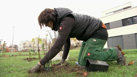 Eine Fraue pflanzt einen Obstbaum ein.