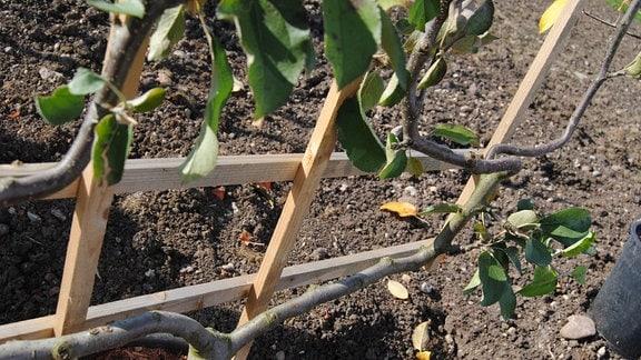 Apfelbaum am Spalier im Kübel