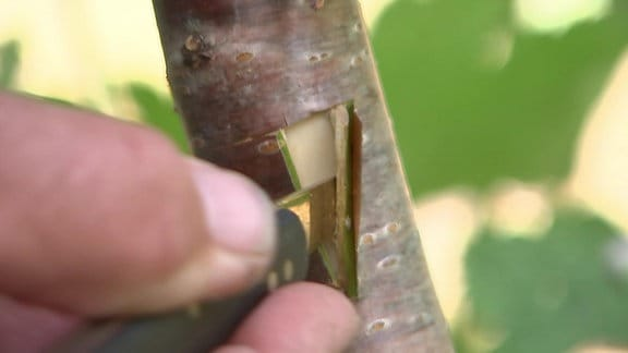 Rinde von Obstbaum wird für Veredelung angeschnitten