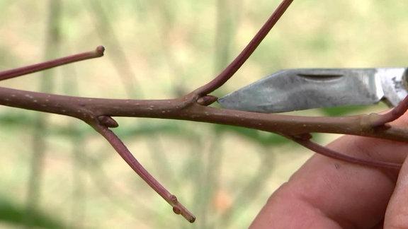 Ruhende Knospe als Veredelungsauge an Obstbaumzweig
