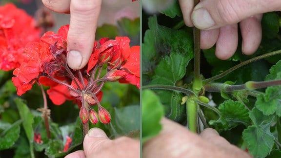 Bildcollage: Pelargonienstängel wird an einem Blattknoten ausgebrochen/ Pelargonienrispe mit Knospen und verwelkten Einzelblüten