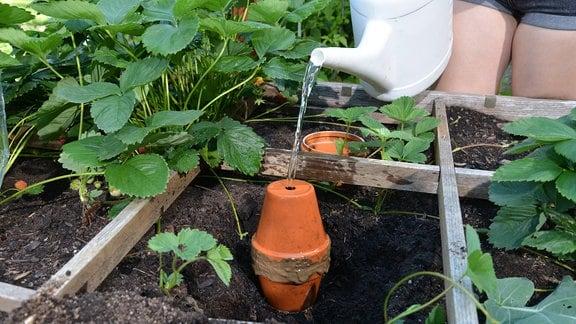 Mit einer Gießkanne wird Wasser in eine Bewässerungshilfe aus Tontöpfen gegossen.