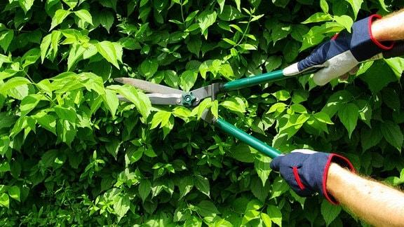 Heckenschere im Einsatz an einer Hecke