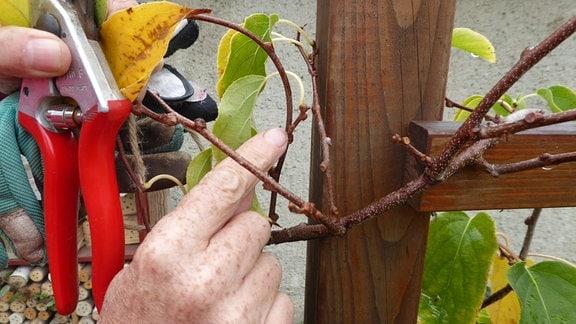 Schnitt bei Kiwibeere für reichen Fruchtansatz