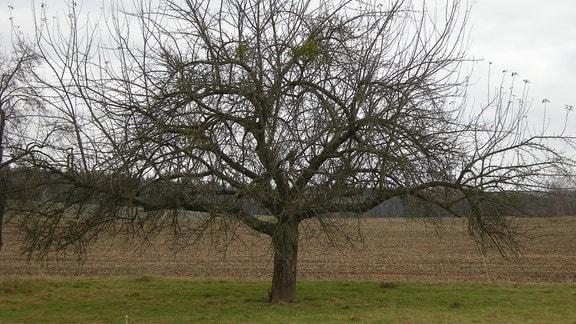 Apfelbaum viele Jahre ungeschnitten