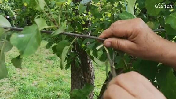 Sind die Triebe von Pflaumen-, Pfirsich- oder Aprikosenbäumen noch jung, sollten sie lieber abgerissen als geschnitten werden. Das bringt gleich mehrere Vorteile sagt Obstbaumexpertin Monika Möhler.