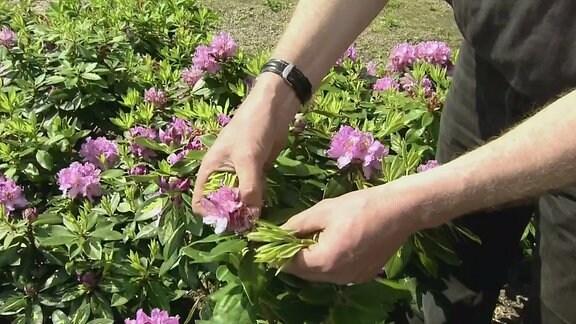 Abzwacken der alten Blüte