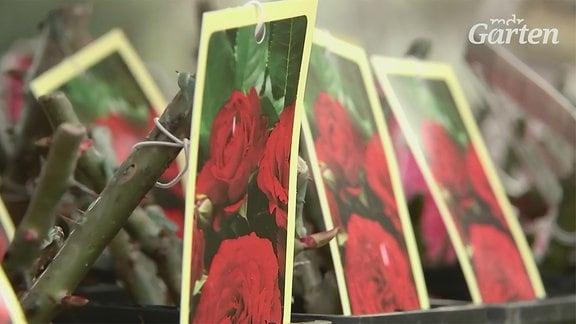 Wurzelverpackte Rosen