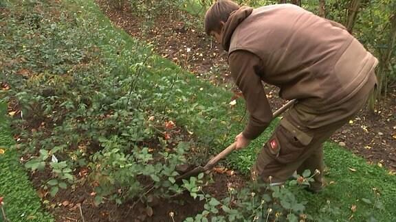 Gärtner bedeckt Rosen im Wurzelbereich mit Erde