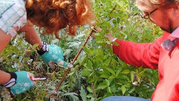 Die Gartenfachberaterin Brigitte Goss und der MDR Gartenmoderator Jens Haentzschel schneiden eine verblühte Rose zurück