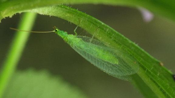 Ausgewachsene, grüne Florfliege mit großen, filigranen Flügeln an einem Pflanzenstängel