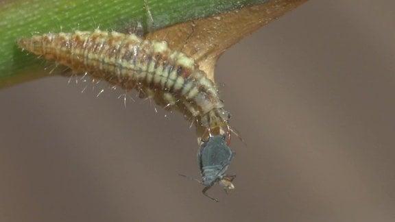 Die Larve einer Florfliege spießt eine Blattlaus auf und saugt sie aus