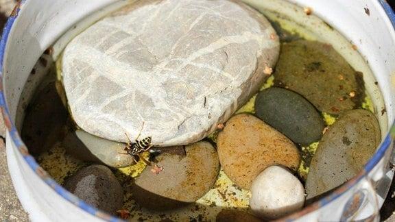 Wespe trinkt an einer Wasserstelle.