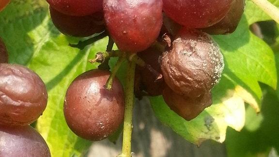 Kirschessigfliege auf Weintraube