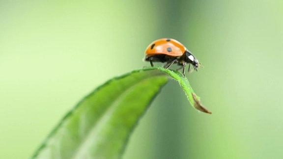 Ein Siebenpunkt-Marienkäfer auf einem Blatt.