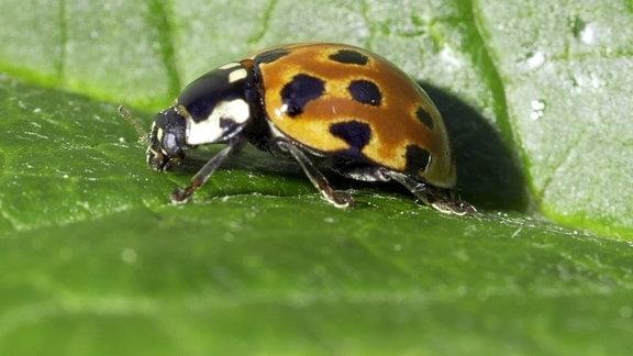 Ein Augenmarienkäfer auf einem Blatt.