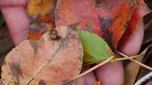 Rote Blätter mit einer seltsamen Erhebung.