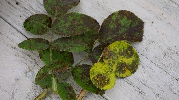 Verschiedene grüne Blätter mit braunen Flecken auf einem weißen Holzhintergrund.