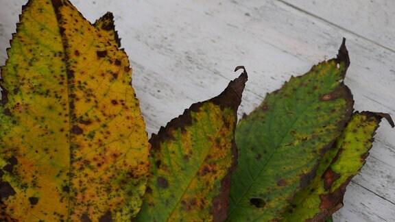 Blätter mit kleinen schwarzen Punkten auf einem weißen Hintergrund.