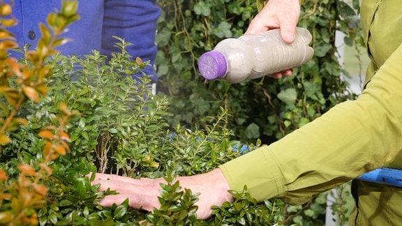 Ein Buchsbaum wird mit einem selbstgebauten Plastebestäuber bestäubt. In der Flasche ist Urgesteinsmehl.