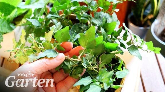 Die Blätter einer Efeu-Pflanze werden umgedreht