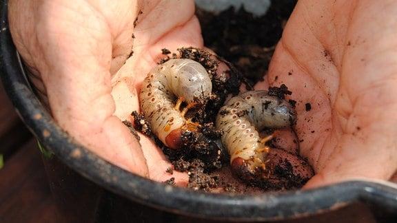 Engerlinge aus dem Komposthaufen