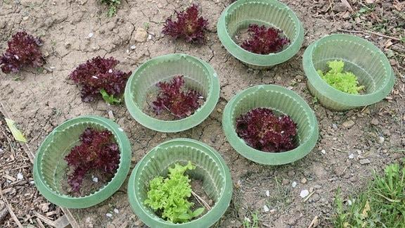 Beet mit Salatköpfen in Schneckenringen.