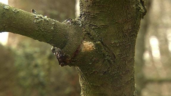 Gelege des Nachtfalters Schwammspinner an Baumstamm