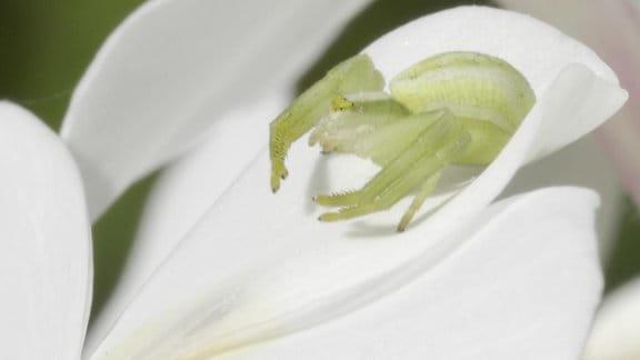 Weiße Krabbenspinne in Schmetterlingsfliederblüte