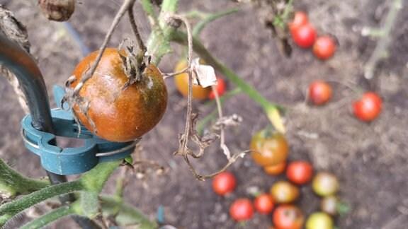 Faulige Tomaten mit Flecken der Kraut- und Braunfäule