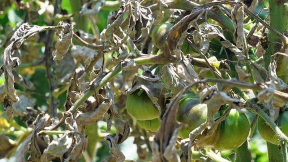 Tomaten mit grauen, welken Blättern wegen Frucht- und Stängelfäule