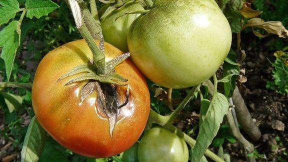 Tomate mit aufgeplatztem Riss am Stiel durch Frucht- und Stängelfäule