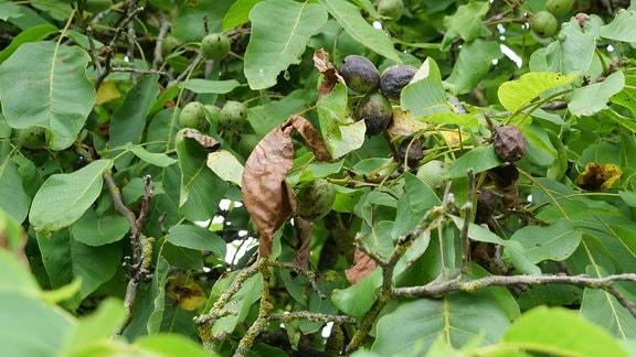 Walnuss-Früchte mit schwarzen Fruchtschalen am Baum