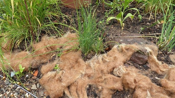 Schafwolle im Kräuterbeet