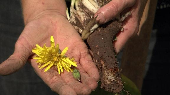 Schwarzwurzel mit Blüte