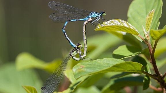 Speer-Azurjungfer zur Libelle des Jahres 2020 gewählt