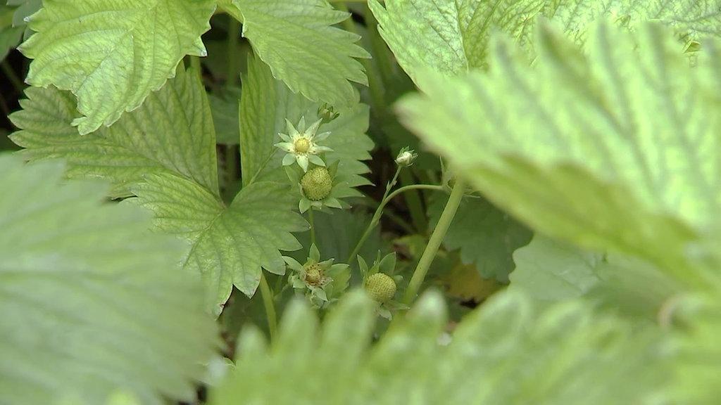 Abgesackte Erdbeeren Im Hochbeet Mdr De