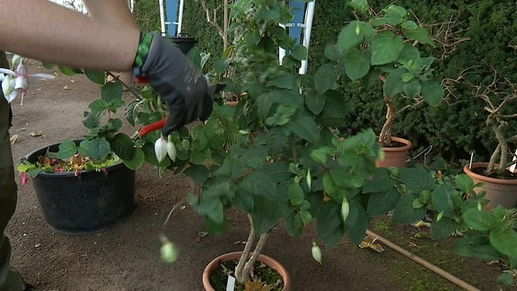 Weiß blühende Fuchsie wird mit einer Gartenschere zurückgeschnitten
