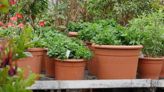 Auf einem Pflanztisch stehen Kübelpflanzen.
