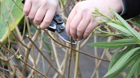 Hände schneiden mit einer Gartenschere einen Zweig von einem noch kahlen Zierstrauch in einem Kübel ab