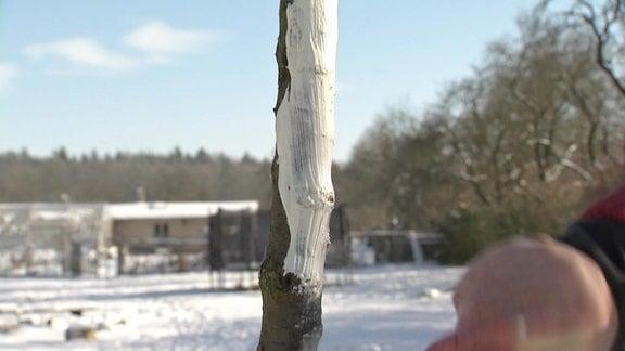 Weiße Farbe als Frostschutz an jungem Obstbaum