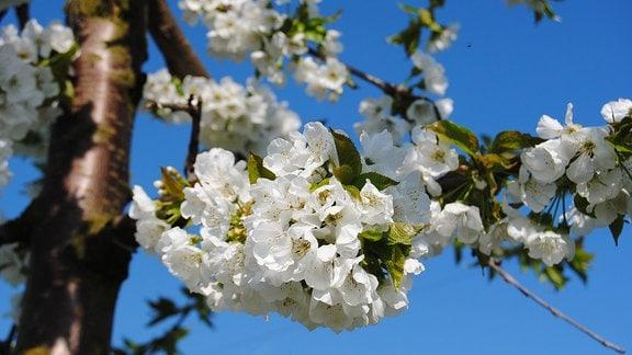 Weiße Blüten hängen in dichten Büscheln an einem Kirschbaum, dessen hellgrüne, junge Blätter gerade erst austreiben