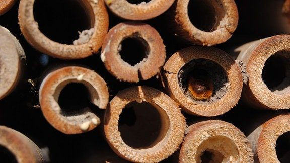 Der rot-braune Hinterleib einer Wildbiene in einer Niströhre in einem Bienenhaus auf dem Gelände der Lehr- und Versuchsanstalt für Gartenbau in Erfurt.