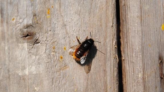 Eine dunkle Wildbiene mit rot-braunem Hinterleib und langen Fühlern sitzt an einer Holzwand