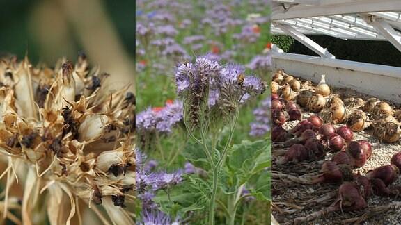 Die Collage zeigt Zeigerpflanzen des Spätsommers: Den Gründünger Phacelia, trocknende Zwiebeln und die Samen der Bartnelke.