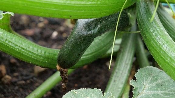 Schlappe abgeknickte Zucchini an einer Pflanze