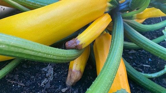 Zucchinipflanze mit Früchten, die braune Spitzen haben