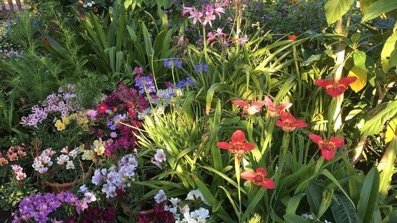 Tigerblume mit weiteren Pflanzen