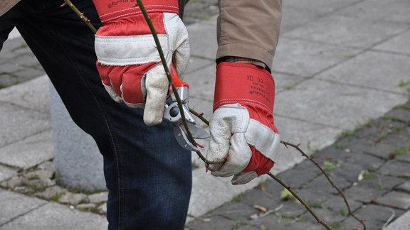 Ein Mann hält mit der einen Hand einen Rosenzweig, mit der anderen setzt er an dem Zweig die Schere an.