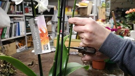 Ein Orchideentrieb wird zurückgeschnitten.
